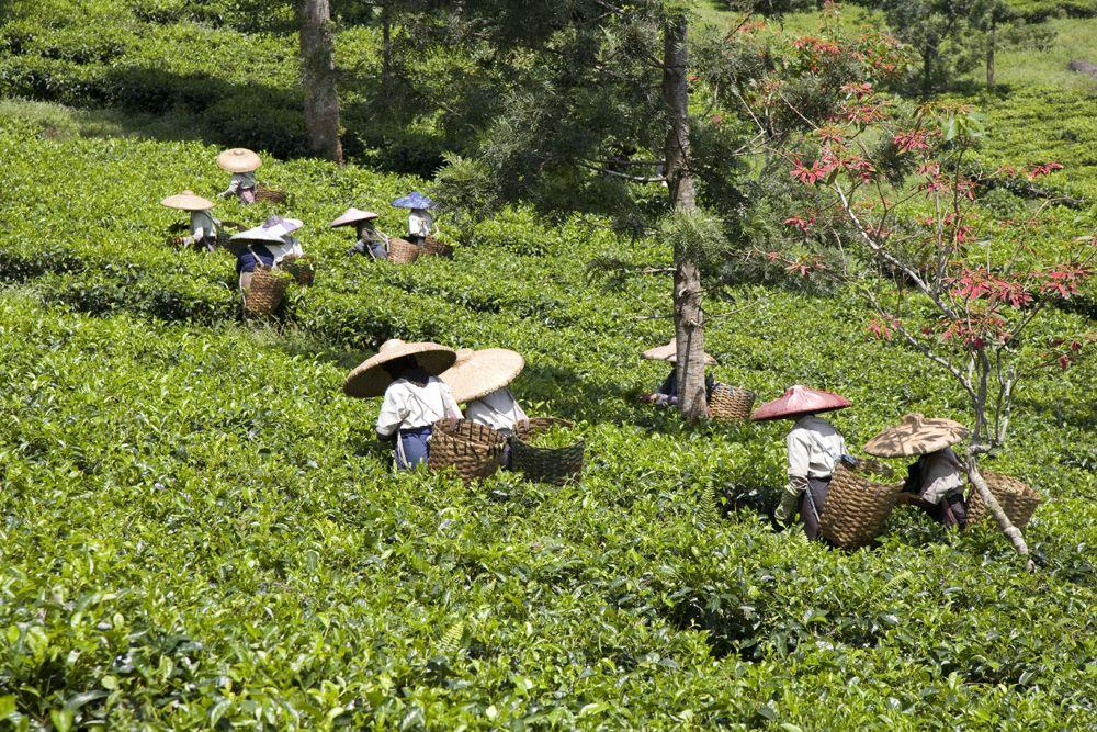indonéz fogyókúrás tea